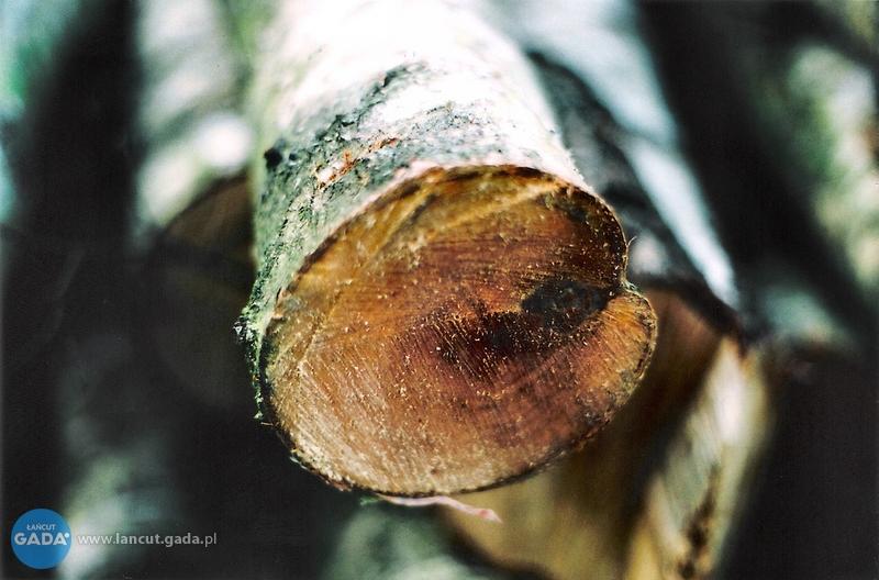 Chcesz wyciąć swoje drzewo? Pamiętaj opozwoleniu